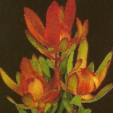 Leucadendron hybride  'Gem'