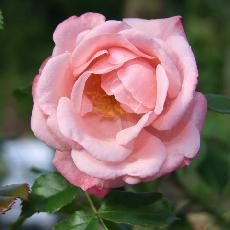 Rosa  'Fandango'