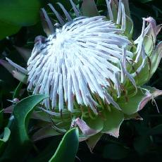 Protea cynaroides  'Mini King Autumn'