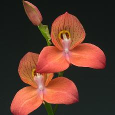Disa  'Diores Inca Warrior'