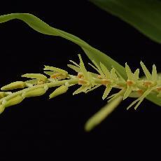 Dendrochilum simile