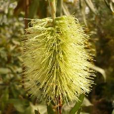 Callistemon pachyphyllus  'Green'