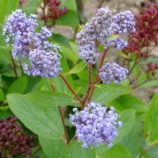 Ceanothus pallidus  'Marie Blue'