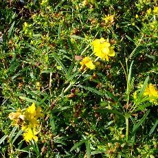 Hypericum densiflorum  'Buttercup'