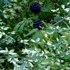 Jasminum  nudiflorum  'Aureum'