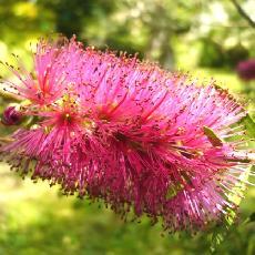 Callistemon acuminatus