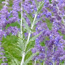 Perovskia atriplicifolia  'Lacey Blue'