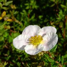 Potentilla fruticosa  'Princess'