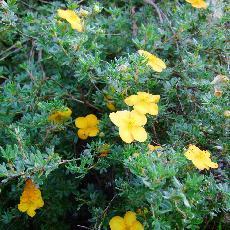 Potentilla fruticosa  'Tangerine'