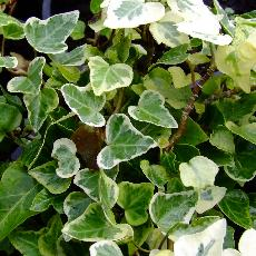 Hedera helix  'white Wonder'