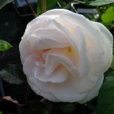Rosa  'Prince Jardinier'