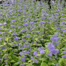 Caryopteris incana  'Sunshine Blue'