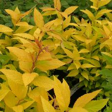 Spiraea japonica  '26'
