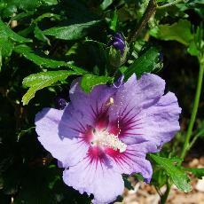 Hibiscus syriacus  'Coelestis'