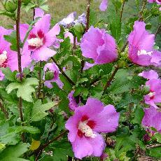 Hibiscus syriacus  'Russian Violet R'