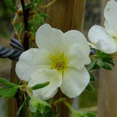 Potentilla fruticosa  'Snowbird'