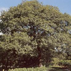Quercus canbyi