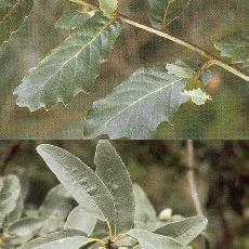 Quercus polymorpha
