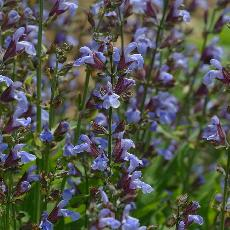 Salvia officinalis  'Garden Gray'