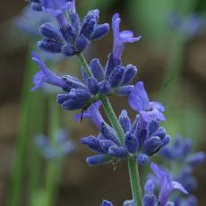 Lavandula angustifolia  'Pacific Blue'