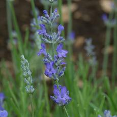 Lavandula angustifolia  'Princess Blue'
