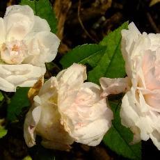 Rosa  'Petite Léonie'