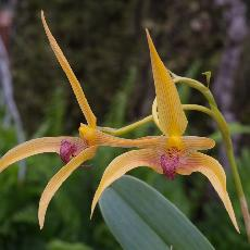 Bulbophyllum  'Frank Smith'