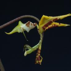 Gongora fulva