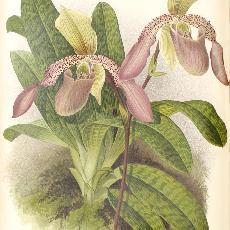 Paphiopedilum  'Macropterum'