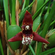 Maxillaria curtipes