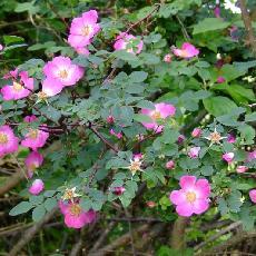 Rosa farreri  'Persetosa'