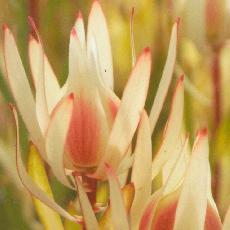 Leucadendron salignum  'Cream Delight'