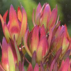 Leucadendron salignum  'Amy'