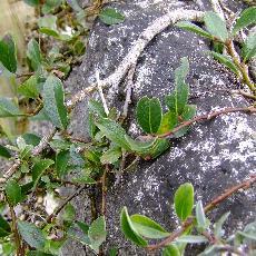 Salix x rependiculata