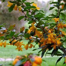 Berberis x bidentata  'Apricot queen'