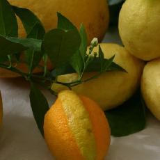 Citrus  limon  'Gilou'