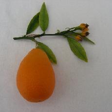 X Citroncirus Fortunella  'Citrangequat thomasville'