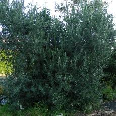 Olea europea  'cipressino'