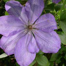 Clematis  'Mrs Cholmondeley'