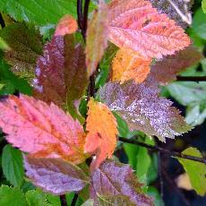 Spiraea japonica  'Coccinea'