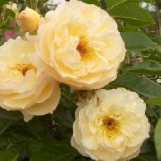 Rosa  'Canicule ® Tanmirsch'