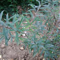 Hippophae rhamnoides  'Rockorange'
