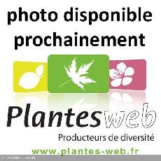 Pinus contorta var. latifolia