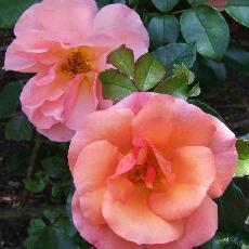 Rosa  'Aprikola'