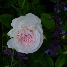 Rosa  'Cuisse de Nymphe Emue'
