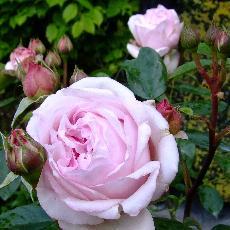 Rosa  'Petit Trianon'