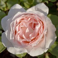Rosa  'André Le Nôtre®'