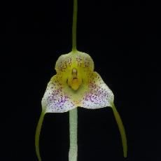 Masdevallia pandurilabia