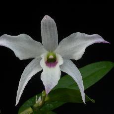 Dendrobium  'Cassiope'
