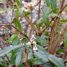 Lonicera standishii var.lancifolia
